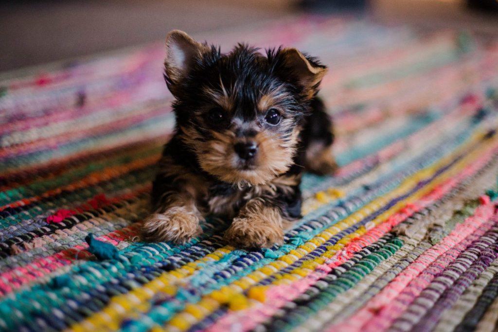 puppy liggend op tapijt