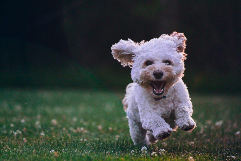 Rennend hondje in veld