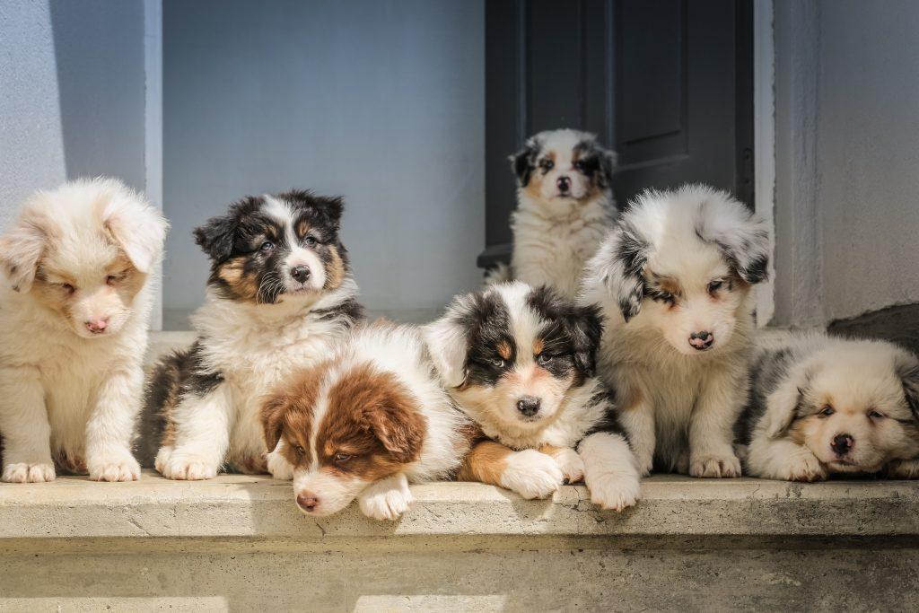 Groep puppy's