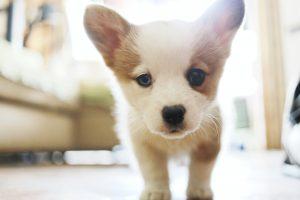 Puppy kijkt in de camera